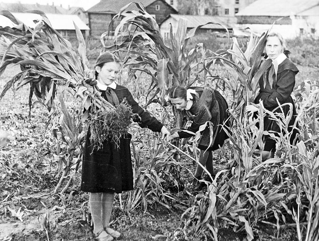 В 60-е годы на станции юннатов в Сыктывкаре выращивали кукурузу.